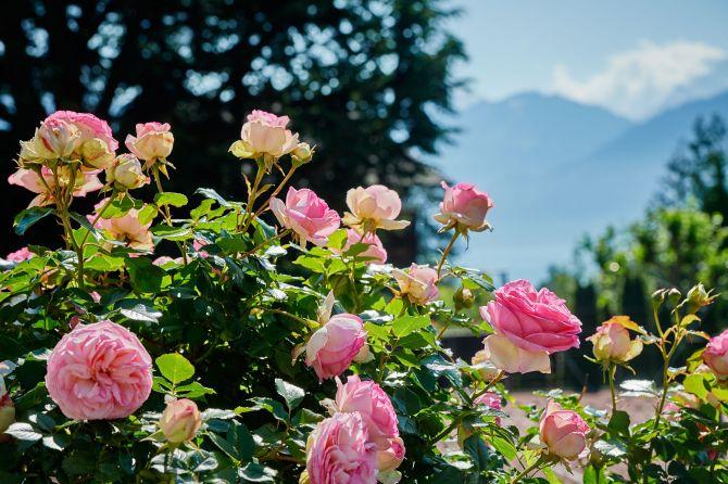 Garten Eden Spiez Rosen